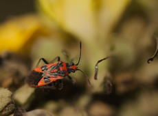 The  Cinnamon bug  ( Corizus hyoscyami ), also known as black&red squash bug. It was feeding on very interesting denseflower mullein which looks like the human -  see it on the another photo.  The Cinnamon bug is less seen in Poland than  similar firebug ( Pyrrhocoris apterus ) .