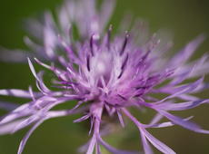 Close-up of  brown knapweed  ( Centaurea jacea ), also known as  brownray knapweed .