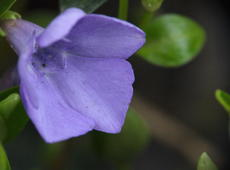 Closeup of  lesser periwinkle  ( Vinca minor ), also known as  Dwarf periwinkle ,  Small periwinkle ,  Common periwinkle ,  Creeping myrtle , and  Myrtle .