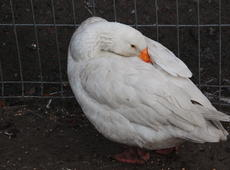 Domestic goose  ( Anser anser domesticus ).