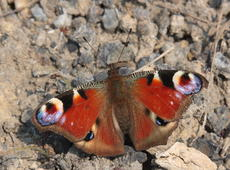 European Peacock   ♀  ( Inachis io ), also known as  Peacock butterfly .