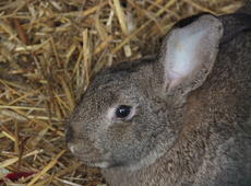 European rabbit  ( Oryctolagus ), also known as  Oryctolagus cuniculus  and  Rabbit .