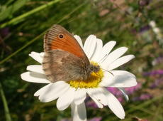 Hyponephele lycaon  ( dusky meadow brown ) on the  Tripleurospermum inodorum  ( scentless false mayweed ,  scentless mayweed ,  scentless chamomile ,  wild chamomile ,  mayweed ,  false chamomile ,  Baldr's brow )