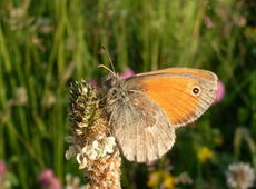 Hyponephele lycaon  ( dusky meadow brown )