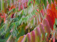 The leaves of the  staghorn sumac  ( Rhus typhina  syn.  R. hirta ) are changing colors during the early autumn. See also  the even more colorful photo taken during same photosession .