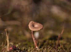 Very tiny mushroom (less than half of inch height!) on the meadow made of the moss.