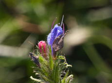 The three stages of flowering of  viper's bugloss  ( Echium vulgare ), also known as  blueweed . Pinkish-red one is just blossoming, pinkish-blue is the mature one and apparently the road of life has ended for a brown one.